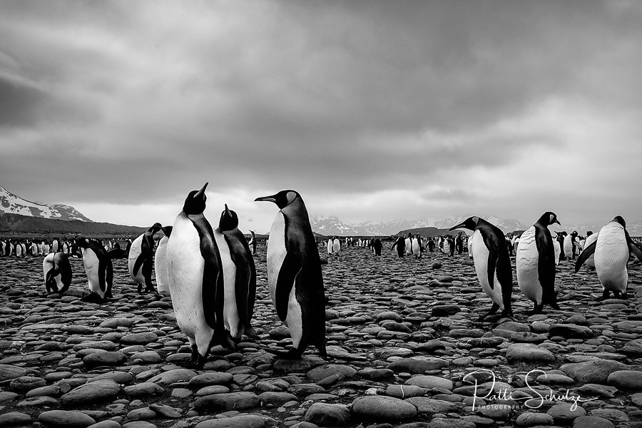 King Penguins - -South Georgia