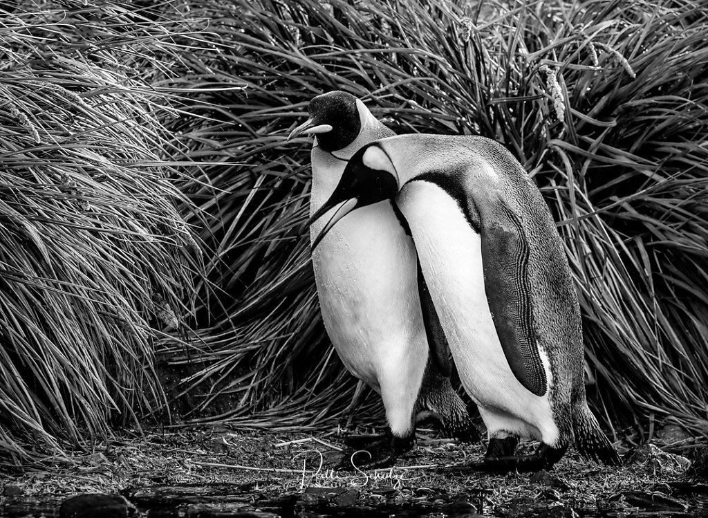 King Penguin Couple